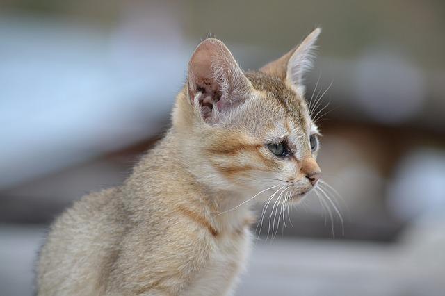 světlá kočka